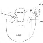 A la découverte du rôle des enzymes et de leur importance (1)