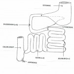 Découvrir la place clé de l'intestin grêle et ses mécanismes (4)