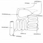 Découvrir la place clé de l'intestin grêle et ses mécanismes (3)