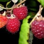 Recettes faciles et délicieuses : coulis de fruits rouges et coulis de framboises