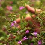 Le thé d'Aubrac, un excellent digestif naturel